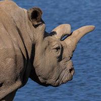 Sólo quedan tres rinocerontes blancos: así se extingue una especie hoy en día