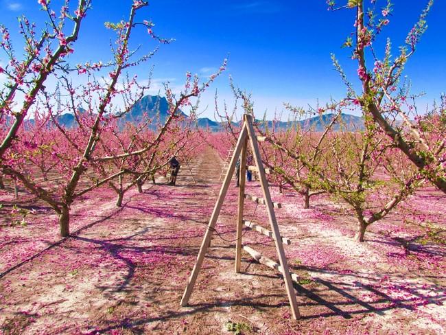 Floración de Cieza Murcia