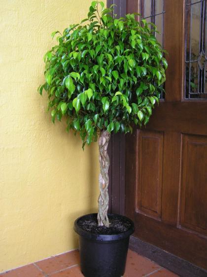 Recuperar Un Ficus Decoesfera Responde