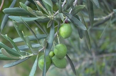 [Vídeo] Completada la primera secuenciación del ADN del olivo