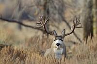 [Vídeo] La gran migración del ciervo mulo