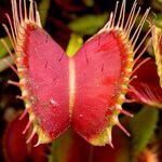 Esta planta carnívora tiene un inteligente sistema para atrapar insectos en vez de otras cosas: contar hasta el segundo estímulo