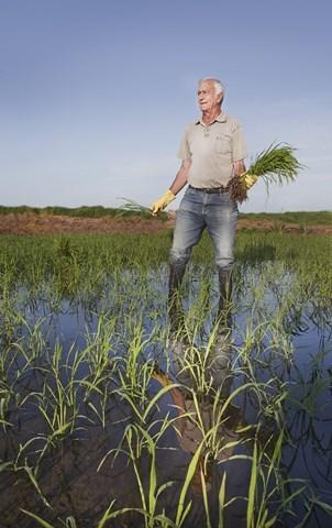 Foto de La producción de los cereales con base de arroz (1/14)