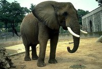 Singularidades extraordinarias de animales ordinarios (XVIII): el elefante