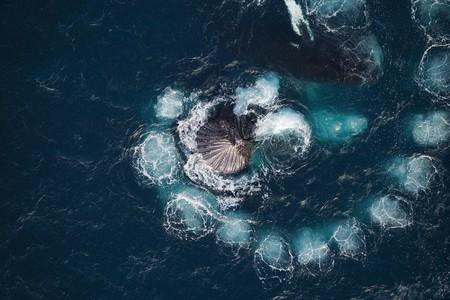 Un dron permite fotografiar cómo ballenas jorobadas capturando krill con burbujas