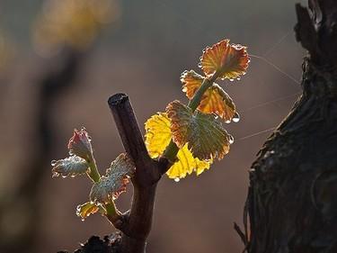 La uva godello