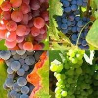 Encontradas las diferencias genéticas entre las uvas blancas y las uvas negras