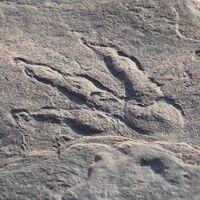 Una niña de 4 años encuentra una huella de dinosaurio en un estado de conservación casi perfecto
