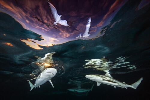 """Este """"baile"""" de tiburones y gaviotas al atardecer es la imagen ganadora del concurso de foto submarina Underwater Photographer of the Year 2021"""
