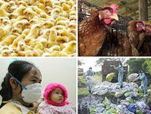 El gripe aviar, ¿estamos preparados?