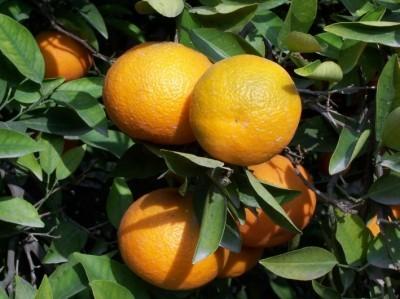 Cáscara de mandarina para luchar contra el cáncer