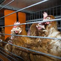 Mercadona nos vende compromiso con los huevos de gallinas libres de jaula, pero va cinco años tarde