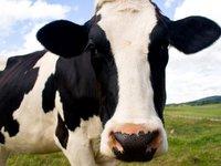 ¿Sería posible acercarse a una vaca y derribarla mientras duerme?