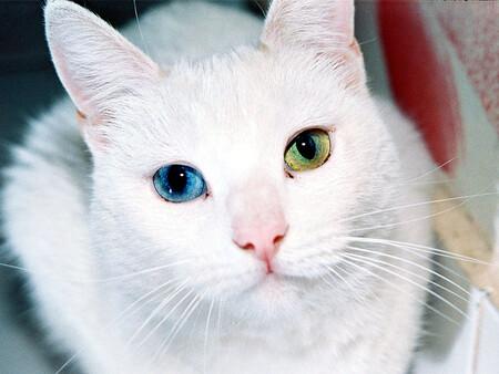 El genoma de los gatos es sorprendentemente similar al del ser humano y podría ayudarnos a tratar enfermedades en ambas especies