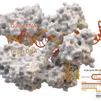 Problemas en el paraíso genómico: el uso de CRISPR puede causar cientos de mutaciones no deseadas