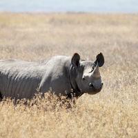 Invertir en bonos: la nueva vía para salvar al rinoceronte negro de su total extinción