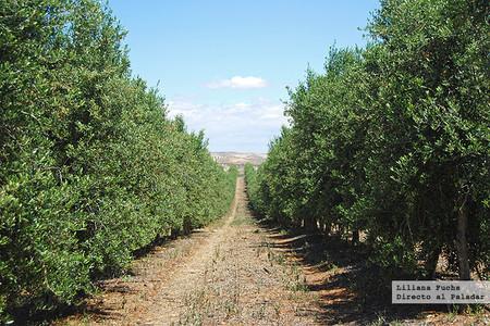 Casas de Hualdo. Olivos plantados en seto