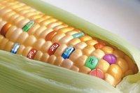 Para los que estén en contra de los cultivos modificados genéticamente