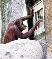 Orangutanes y videojuegos