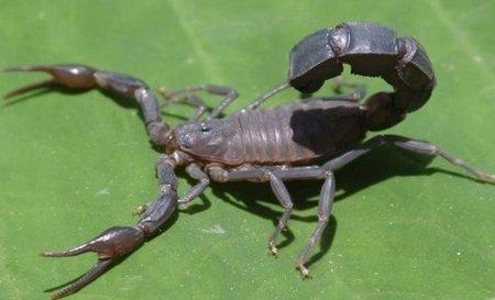 Singularidades extraordinarias de animales ordinarios (XXI): el escorpión