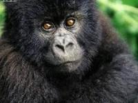 Los gorilas están de enhorabuena
