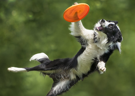 ¿Ves a tu mascota haciendo lo mismo? Espectaculares fotografías de perros cazando frisbees