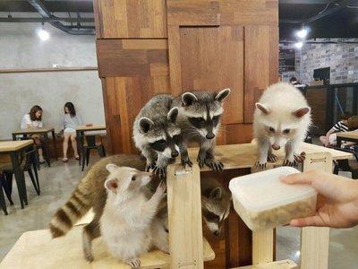 Tomar un café entre mapaches y hacerse un selfie: la última moda en Corea del Sur