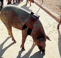 Cerdos con móvil