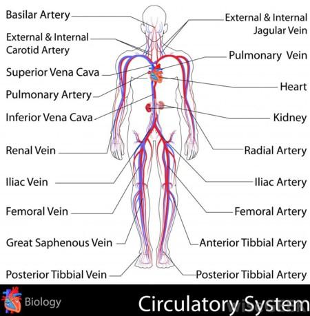 pulmonary vein body diagram combate la celulitis sin milagros #10