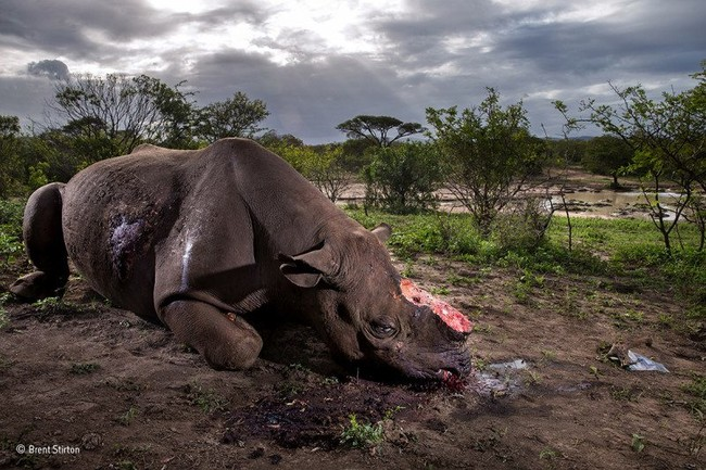 Memorial To A Species Brent Stirton Wildlife Photographer Of The Year 800x533
