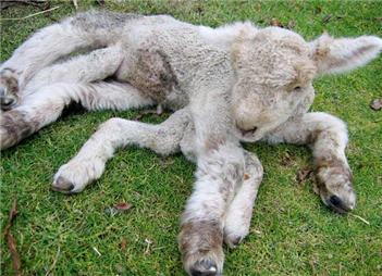 Nace un cordero con 7 patas
