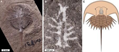 Gracias a un mineral, este cangrejo herradura de 310 millones de años ha conservado un cerebro extraordinariamente intacto