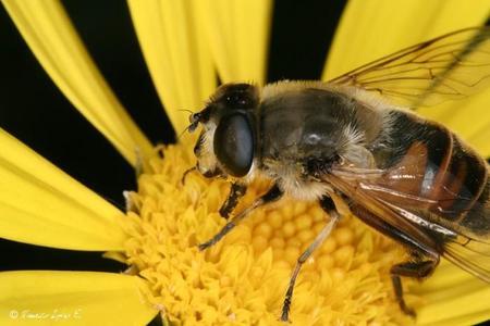 Singularidades extraordinarias de animales ordinarios (I): la abeja