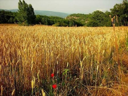 ¡Viva el Trigo! Larga vida a Norman Borlaug