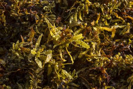 Sargasso Seaweed Detail