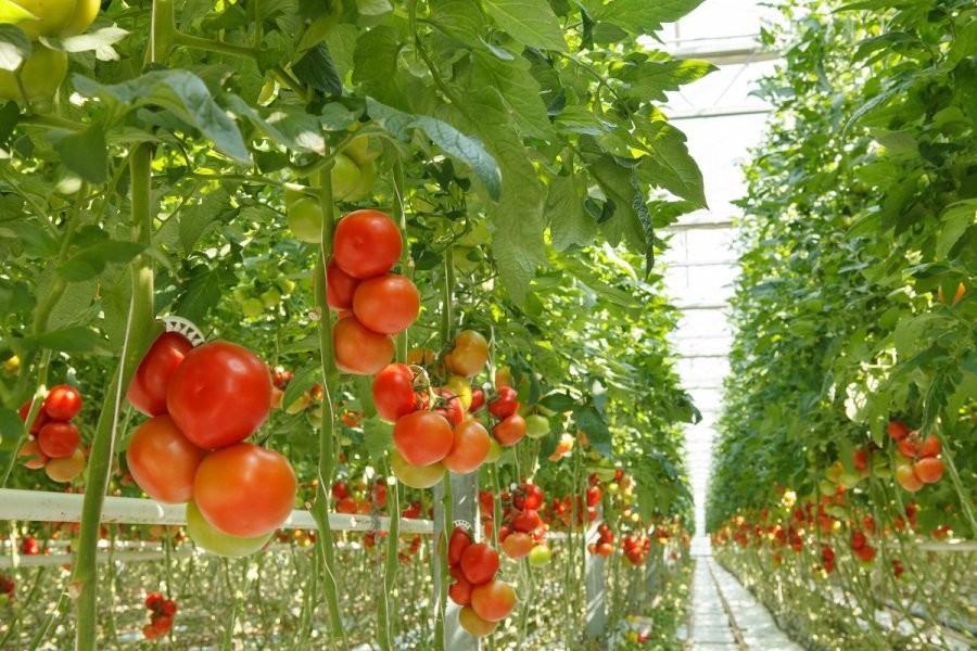 ¿Porqué los tomates no saben como antes ? 1366_2000