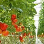 ¿Por qué los tomates ya no saben como antes?