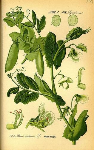 Plantaguisante