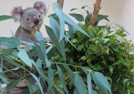 Un nuevo macho de koala llamado Kuna llega al Zoo Aquarium de Madrid