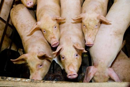 El futuro de los trasplantes está en los animales con órganos humanos