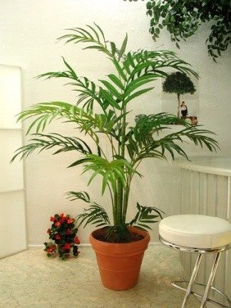 Plantas de interior iii kentia - Plantas de interior tipos ...
