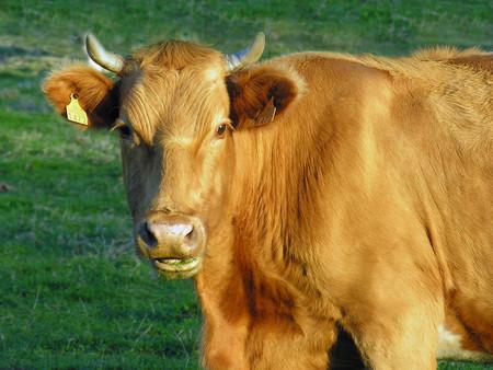 Vaca gallega