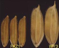 Descubierto el gen que limita el peso y tamaño de un grano de arroz