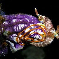 Esta criatura recién descubierta en el Mar Rojo es capaz de regenerar todos sus órganos, incluso si se corta en tres fragmentos