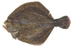 El Rodaballo, uno de los pescados más apreciados en la cocina