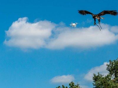 Drones vs águilas: la policía holandesa tiene listas a sus depredadoras de tecnología, lo vemos en vídeo