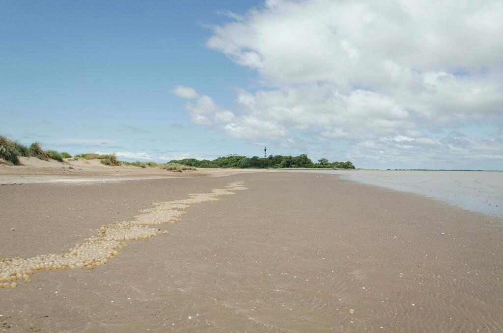 Las playas argentinas a veces están salpicadas de orbes gigantes y nacarados pero eso es una mala noticia a pesar de su belleza