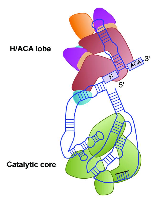 Estructura telomerasa