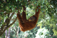 Viajes exóticos: Orangutanes y otros animales en la selva de Sumatra
