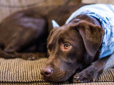 ¿Por qué los perros no deben comer chocolate?